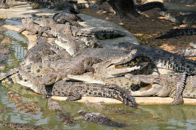 Crocodile farm transfer